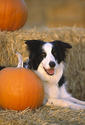 Border Collie and pumpkin